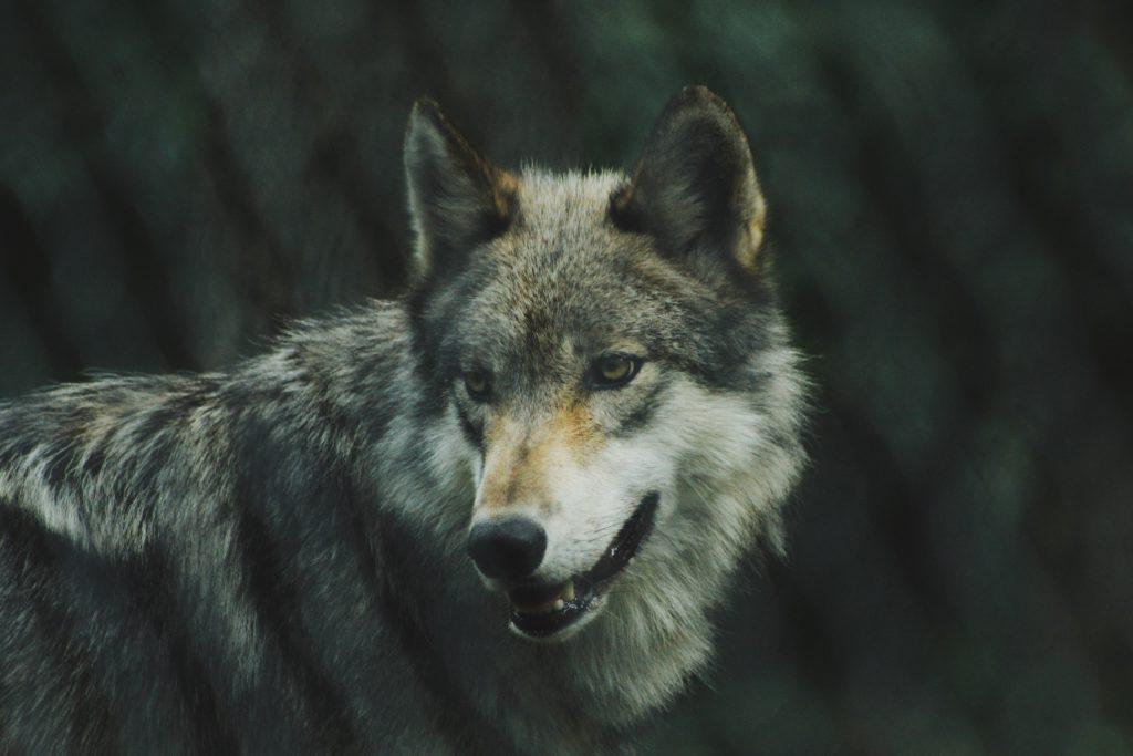 Die Parabel von den zwei Wölfen